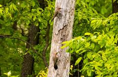 7K8A9096 (rpealit) Tags: scenery wildlife nature weldon brook management area flickers flicker bird