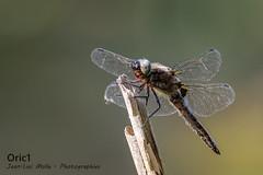 Libellule (Oric1) Tags: libellule dragonfly france eos oric1 sigma landes sport canon 40 120300mm réservenaturelledumaraisdorx nature jeanlucmolle insecte