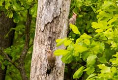 7K8A9103 (rpealit) Tags: scenery wildlife nature weldon brook management area flickers flicker bird