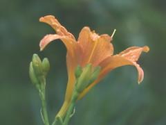 Orange Beauty - enchantment Lily (river crane sanctuary) Tags: orange flower rivercranesanctuary garden