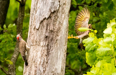 7K8A9106 (rpealit) Tags: scenery wildlife nature weldon brook management area flickers flicker bird