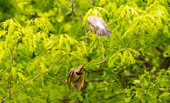 7K8A9128 (rpealit) Tags: scenery wildlife nature weldon brook management area flickers flicker bird