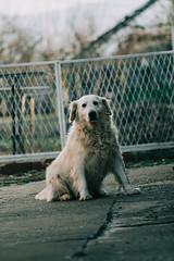 DSC_3261 (mladen29) Tags: dog goldenretriever pet