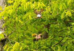 7K8A9129 (rpealit) Tags: scenery wildlife nature weldon brook management area flickers flicker bird