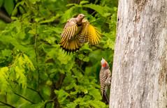 7K8A9131 (rpealit) Tags: scenery wildlife nature weldon brook management area flickers flicker bird