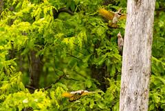 7K8A9132 (rpealit) Tags: scenery wildlife nature weldon brook management area flickers flicker bird