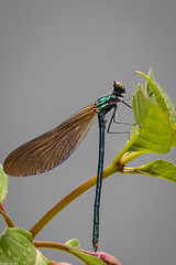 Beautiful Demoiselle on Fuchsia (PedroLanders) Tags: yelverton damselfly odonata devon miltoncombe insect