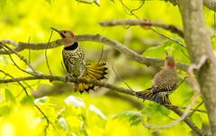 7K8A9151 (rpealit) Tags: scenery wildlife nature weldon brook management area flickers flicker bird