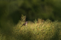 Sur son domaine... (bulledenature62) Tags: oiseaux passereaux gorgebleueàmiroir birds naturesession natureperfection nature naturephotography reflex62 deniscoeurphotographe62 photographepasdecalais photographenature hautsdefrance campagne colza