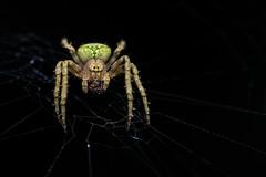 Eustala spec. (www.endlessfields.ch) Tags: arachnida arachnid araneidae orbweaver animal costa rica wildlife wildlifephotography macro macrophotography sony sonya6500 laowa 60mm