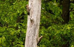 7K8A9076 (rpealit) Tags: scenery wildlife nature weldon brook management area flickers flicker bird