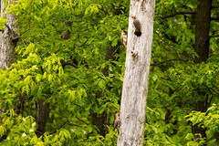 7K8A9083 (rpealit) Tags: scenery wildlife nature weldon brook management area flickers flicker bird
