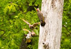 7K8A9087 (rpealit) Tags: scenery wildlife nature weldon brook management area flickers flicker bird