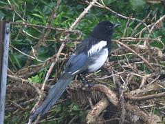 Magpie On The Hunt (river crane sanctuary) Tags: magpie rivercranesanctuary birdnature bird nature