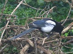 Magpie Searching (river crane sanctuary) Tags: bird nature rivercranesanctuary wildlife