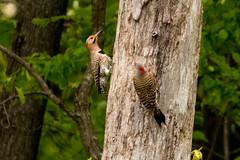7K8A9104 (rpealit) Tags: scenery wildlife nature weldon brook management area flickers flicker bird