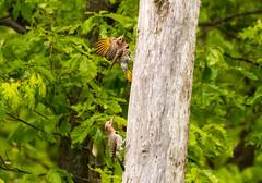 7K8A9112 (rpealit) Tags: scenery wildlife nature weldon brook management area flickers flicker bird