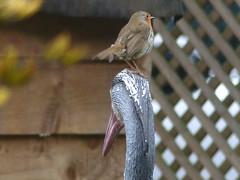 Robin Perched on Heron's Head (river crane sanctuary) Tags: robin bird wildlife nature rivercranesanctuary