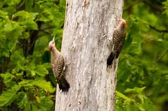 7K8A9118 (rpealit) Tags: scenery wildlife nature weldon brook management area flickers flicker bird