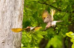 7K8A9124 (rpealit) Tags: scenery wildlife nature weldon brook management area flickers flicker bird