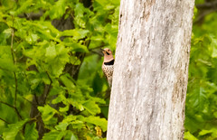 7K8A9126 (rpealit) Tags: scenery wildlife nature weldon brook management area flickers flicker bird