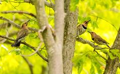 7K8A9158 (rpealit) Tags: scenery wildlife nature weldon brook management area flickers flicker bird