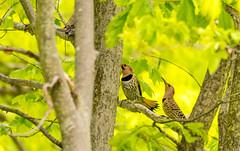 7K8A9159 (rpealit) Tags: scenery wildlife nature weldon brook management area flickers flicker bird