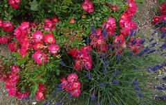 IMG_2191 (belight7) Tags: pink purple nature walk garden park uk england flowers