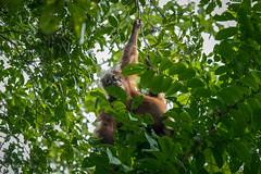 (zwierzory) Tags: borneo danumvalley danum maleysia malaysia malezja sabah southeastasia sea orangutan ape primate małpa animal