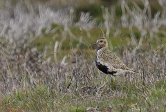 _MG_1848 Golden Plover (sam.creighton) Tags: bird heather yorkshire moors plover goldenplover breedingplumage northyorkshiremoors pluvialisapricaria canon eos 7d ef400mm