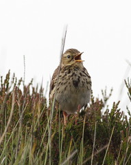 _MG_1789 Meadow Pipit (sam.creighton) Tags: bird singing yorkshire pipit meadowpipit northyorkshiremoors heathermoorland canon eos 7d ef400mm anthuspratensis