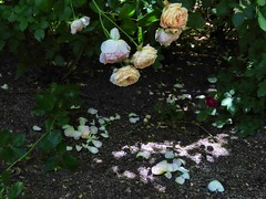 And Time Passes (Robert Cowlishaw (Mertonian)) Tags: spring2019 green lunchstroll fallenpetals roses canonpowershotsx70hs sx70hs powershot canon robertcowlishaw mertonian latespring