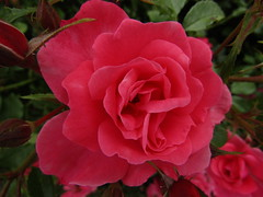 IMG_2167 (belight7) Tags: rose nature walk garden park uk england flowers