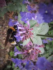 IMG_2178 (belight7) Tags: bee purple nature walk garden park uk england flowers