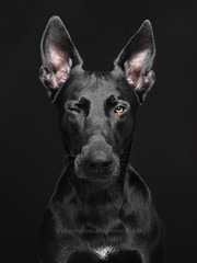 You know, my dear (Wieselblitz) Tags: dog dogs directeyecontact dogphotographer dogphotography dogportrait squint wink winking doginthestudio black blackdog blackonblack studio studioportrait studiodogportrait pet pets petphotography littleredridinghood wolf scary elkevogelsang wieselblitz