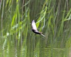 Swift 18 June 2019 (Tim Harris1) Tags: nikond7100 nikkor80400afs norfolk sculthorpemoor bird swift