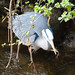 Heron with a fish, 2019 Apr 08 -- photo 2