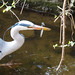 Heron with a fish, 2019 Apr 08 -- photo 1