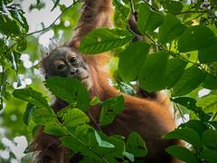 (zwierzory) Tags: orangutan ape primate małpa animal