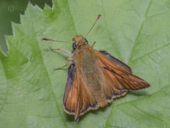 _IMG0946 Large Skipper Ochlodes sylvanus (Pete.L .Hawkins Photography) Tags: petehawkins petelhawkinsphotography petelhawkins petehawkinsphotography 150mm irix macro pentaxpictures pentaxk1 petehawkinsphotographycom f28 11 fantasticnature fabulousnature incrediblenature naturephoto wildlifephoto wildlifephotographer naturesfinest unusualcreature naturewatcher insect invertebrate bug 6legs compound eyes creepy crawly uglybug bugeyes fly wings eye veins flyingbug flying shell elytra ground large skipper ochlodes sylvanus