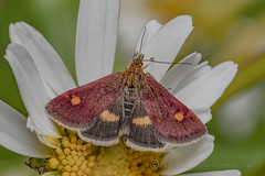 _IMG0881 Mint Moth - Pyrausta aurata at Old Moor RSPB (Pete.L .Hawkins Photography) Tags: petehawkins petelhawkinsphotography petelhawkins petehawkinsphotography 150mm irix macro pentaxpictures pentaxk1 petehawkinsphotographycom f28 11 fantasticnature fabulousnature incrediblenature naturephoto wildlifephoto wildlifephotographer naturesfinest unusualcreature naturewatcher insect invertebrate bug 6legs compound eyes creepy crawly uglybug bugeyes fly wings eye veins flyingbug flying shell elytra ground mint moth pyrausta aurata old moor rspb