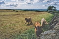 Highland calfs (douglasjarvis995) Tags: highland cattle farm cow ff1 ricoh ultramax kodak film