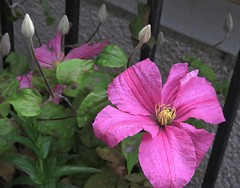 5132 Clematis (Andy - An idle laddy) Tags: buds clematis deeppink flower montanahybrid petals