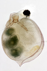 Ceriodaphnia reticulata (mr.sansibar) Tags: