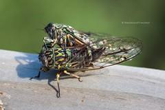 close up pair of chorus cicada (hueymilunz) Tags: nz newzealandtransition newzealand wellington nature macro closeup green garden fauna florafauna insect season summer light