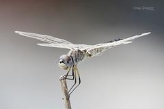 Black pennant (Selysiothemis nigra) ♀. (Vitaly Giragosov) Tags: селисиячёрная стрекоза севастополь крым россия russia crimea sevastopol dragonfly blackpennant selysiothemisnigra
