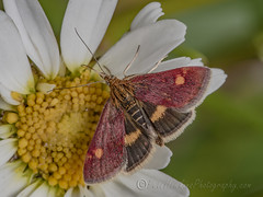 _IMG0876 Mint Moth - Pyrausta aurata at Old Moor RSPB (Pete.L .Hawkins Photography) Tags: petehawkins petelhawkinsphotography petelhawkins petehawkinsphotography 150mm irix macro pentaxpictures pentaxk1 petehawkinsphotographycom f28 11 fantasticnature fabulousnature incrediblenature naturephoto wildlifephoto wildlifephotographer naturesfinest unusualcreature naturewatcher insect invertebrate bug 6legs compound eyes creepy crawly uglybug bugeyes fly wings eye veins flyingbug flying shell elytra ground mint moth pyrausta aurata old moor rspb