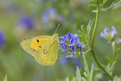 COLIAS CROCEA (ric.artur) Tags: farfalle animali ali lepidotteri nikon naturalmente natura
