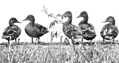 High Key Quackers (Dee Gee fifteen) Tags: five crazytuesday ducks highkey monochrome animals birds bw