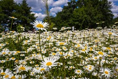 Margeriten (marcoth2212) Tags: daisies margeriten flowers blossoms nature